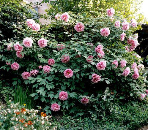 Pivoine: planter et tailler – ComprendreChoisir