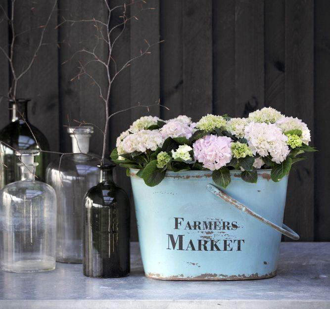 Hortensia er en populær stueplante som kan blomstre i månedsvis. Her får du stelletips og lærer om hvordan du kan styre fargen fra rosa til blå, og at det vi tror er blomster egentlig er dekkblader.