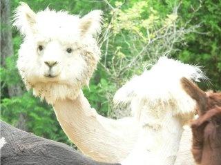 A shaved llama !