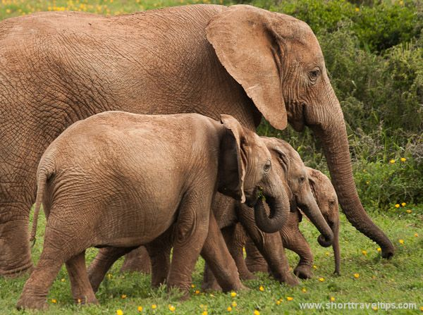 Elephants at Addo National park in South Africa - LOVE this place!