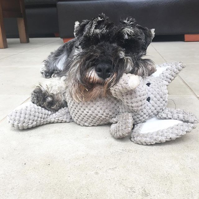 Sometimes you just have to have a cuddle with your best bud to remember everything is going to be okay.   #elephant #elephanttoy #bestbuds #bestbuddies #puppy #puppies #puppiesofinstagram #instapup #puppylove #dog #dogs #cutedog #dogsofinstagram #dogoftheday #ilovemydog #schnauzer #furbaby #schnauzers #schnauzerlove #schnauzerchallenge #schnauzerpuppy #schnauzersofinstagram #minischnauzer #miniatureschnauzer #saltandpepperschnauzer #ilovemyschnauzer #arlotheschnauzer