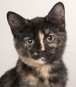 tortie kitten - Google Search