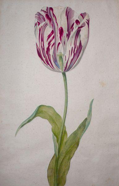 Study of a Burgandy Flamed Tulip by  Dutch School  early-mid 17th century