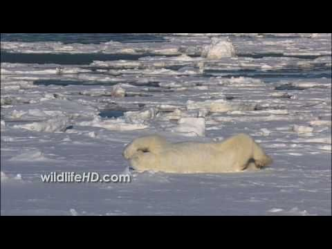 This fun, catchy tune by Tom Rugg stars Bjorn the Polar Bear. It contains a gentle message about climate change, with footage by Emmy Award winning videograp...