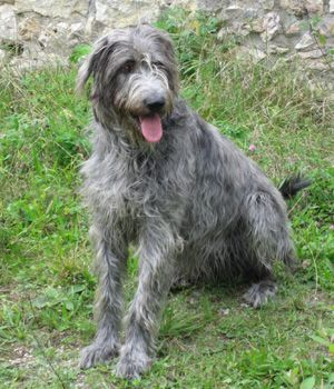 Irish Wolfhound breed info,Pictures,Characteristics,Hypoallergenic:No