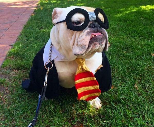 189 best Bulldog dressup images on Pinterest | English ...