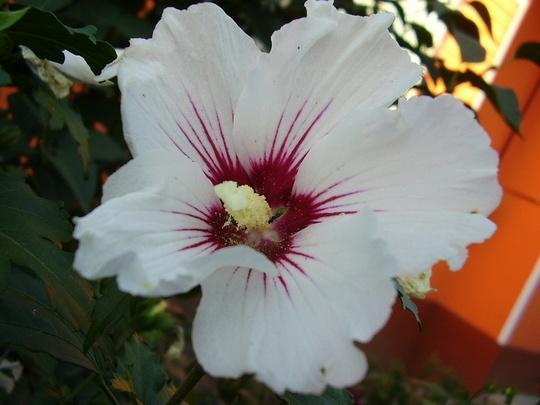 Fehér Tölcsérvirág
