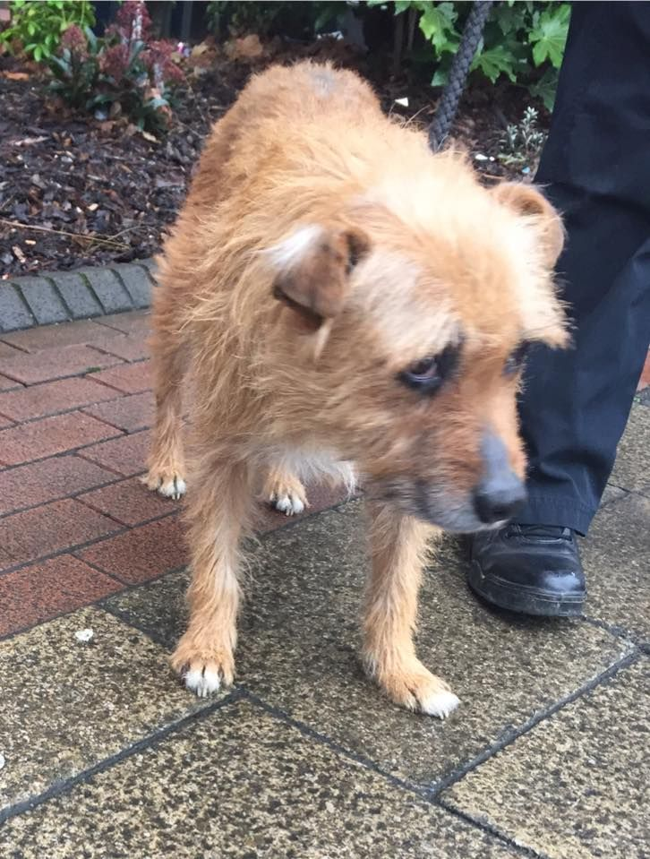 This lovely older lady was handed into the police station 18/01/17 after being found on Woodborough Road #NG3. Unfortunately she isn't chipped. Somebody must recognise those sad eyes!