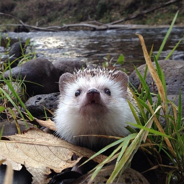Biddy the Hedgehog travels around Oregon and the Pacific Northwest