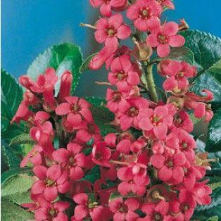 Escallonia Rubra Macrantha Le conteneur. haie fleurie