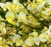 Yes, Warminster has its own Broom: Cytisus x praecox 'Warminster'
