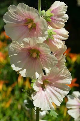 HOW TO GROW HOLLYHOCKS FROM SEED |The Garden of Eaden