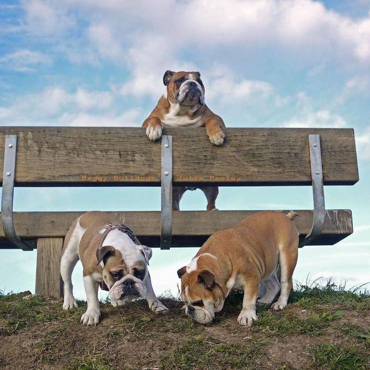 Baggy Bulldogs                                                                                                                                                                                 More