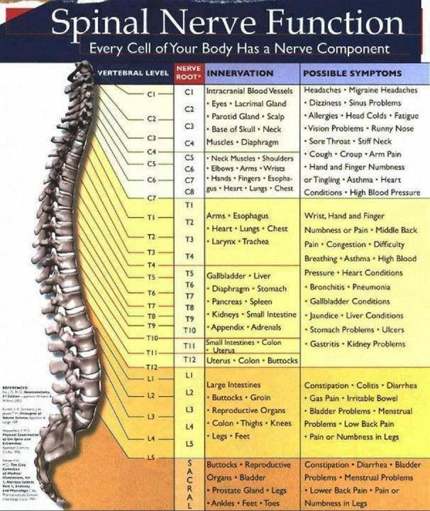 This explains many symptoms that occur after someone has an injury or deterioration to the spine. It also proves why some acupuncture points do what they!! Dermatomes are particular pathways along the body that relate back to particular vertebraes of the spine with each having certain responsibilities. Acupuncture points have correlation to dermatomes!!