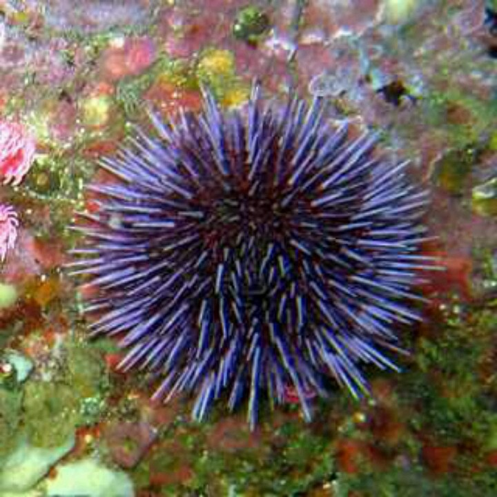 Purple saltwater Sea Urchin | Next collection hobby, salt ...
