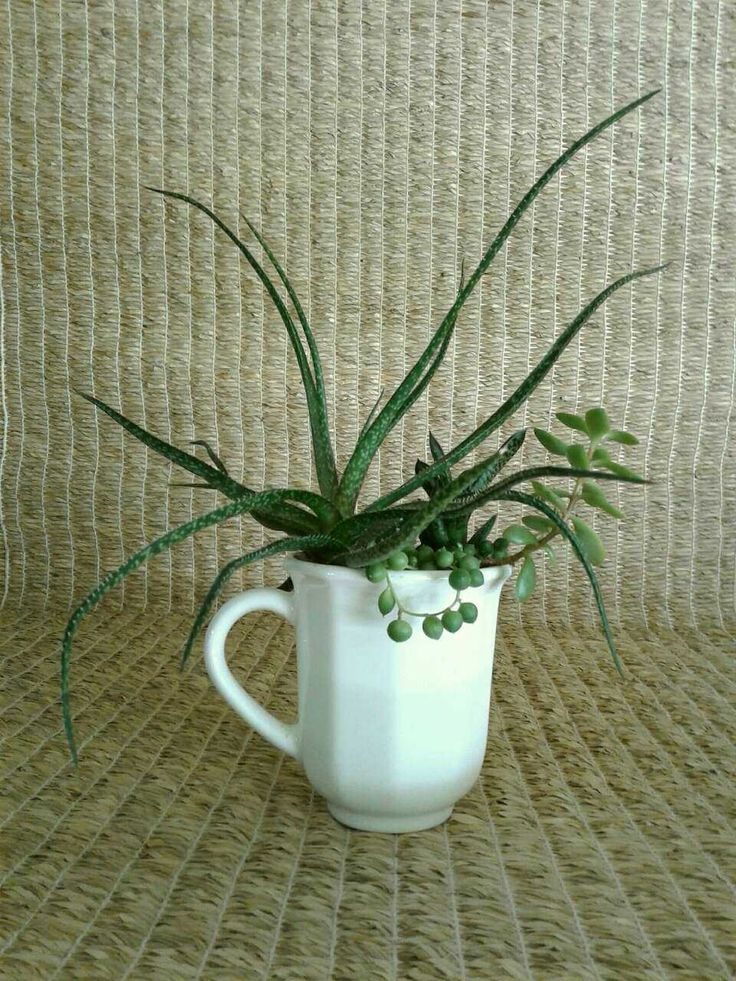 Gasteraloe 'pink lace', senecio rowleyanus 'string of pearls', gasteria bicolor liliputana, and a crassula (all succulents) in a repurposed white coffee cup for sale from a small online plant nursery in Phoenix, AZ. Local meetup by appointment, or delivery may be possible for sizable orders.