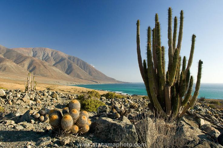 Many different species of cacti live at the coast of the Atacama Desert