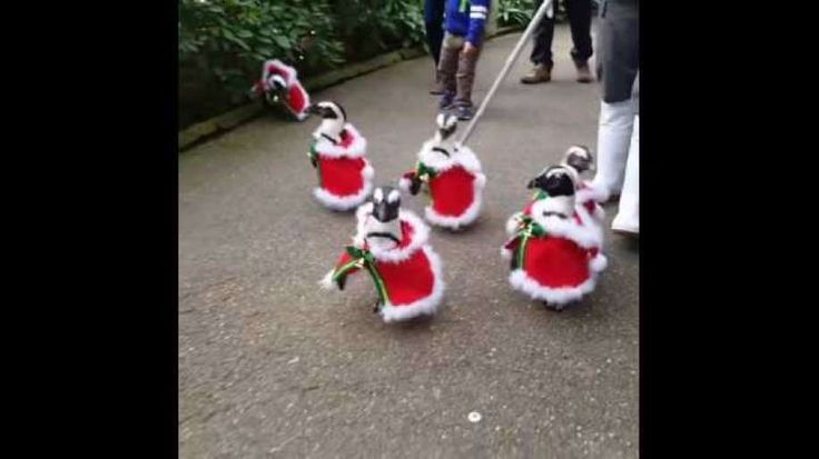 To celebrate Christmas, the Matsue Vogel Park in Japan's Shimane Prefecture has dressed some of their resident penguins in adorable Santa costumes. The video of their appearance at the park on December 2 has gained over 20 million views on Facebook. Credit: Facebook/Amazing Japan via Storyful