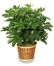 Image result for schefflera kalahari