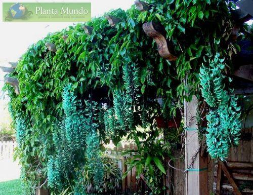Jade Azul Trepadeira - Blue Jade Vine - Strongylodon macrobotrys - Planta Mundo