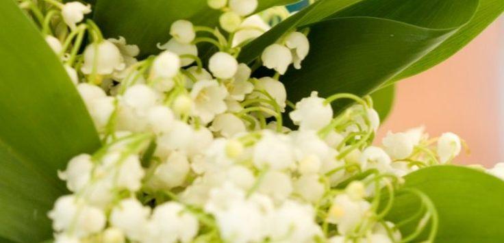 Lacramioarele, flori de gradina si ghiveci