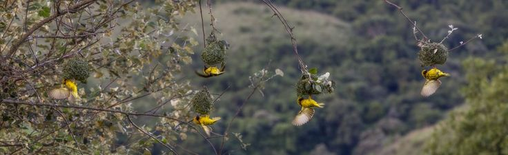 Weaver birds in the Champagne Valley, #Drakensberg by Fred Swart http://www.n3gateway.com/news5/17/151/Fred-Swart-Lens-of-Africa-Photography/d,detail.htm
