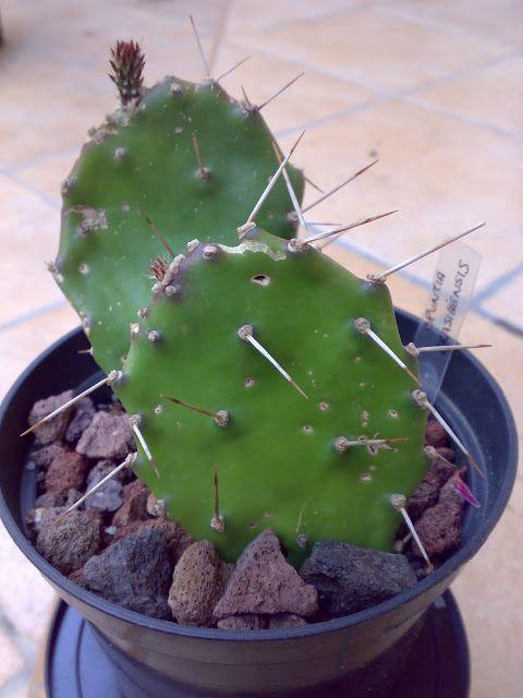 Opuntia Brasiliensis : Cactus y Suculentas de Amanecer