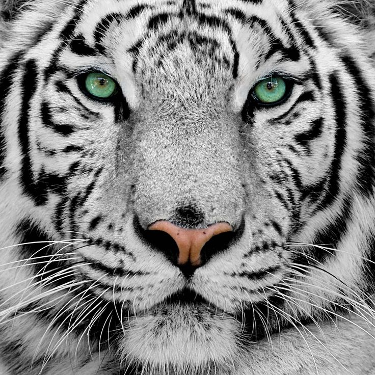Cool White Tigers  wallpaper picture