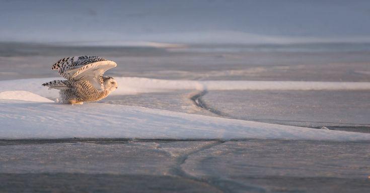 Join us! Snowy owl field trips #snowyowls #adultfieldtrips #snow #winter #owls