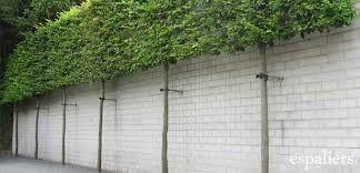 carpinus betulus (Haagbeuk) leivorm, matige groeier, makkelijk te snoeien en scheren (van april t/m september)