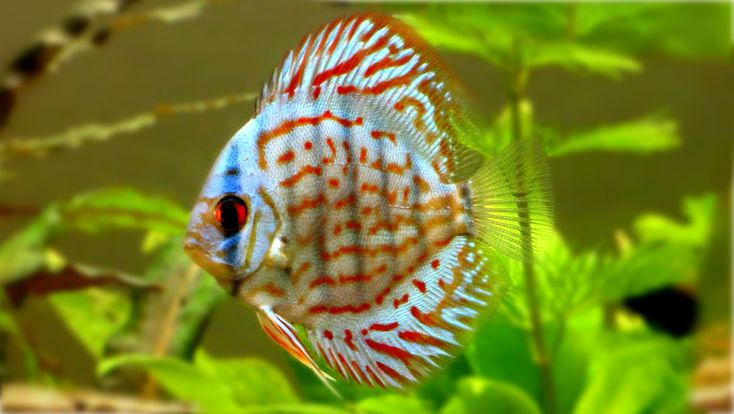 Discus Fish Information and wiki Discus Fish for sale and where to buy - AquaticMag