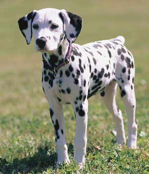 Dalmatian. Get a Free Consultation for your #large #dog #breed from our Friends at Nature's Select http://naturalpetfooddelivery.com/nsd/usa/free-consultation/