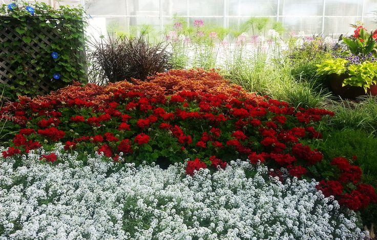 Lobularia Snow Princess, Pelagorium callipe dark red, Coleus Trusty Rusty, Pennisetum Princess Caroline