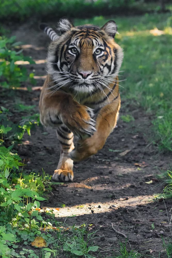 Tiger by Martin on 500px