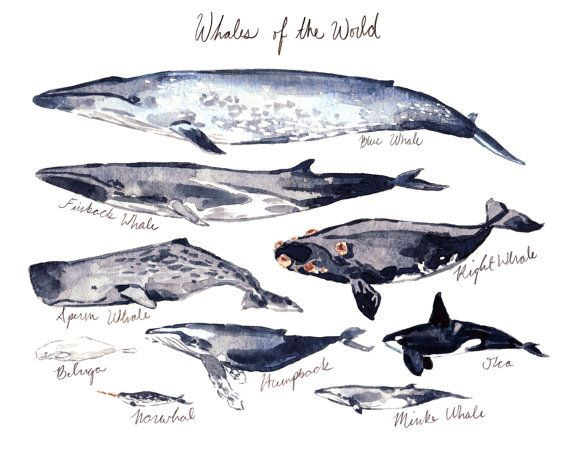 Whales of the World Illustrated Chart  Giclee by LauraRowStudio - - 100% donation to SAVE THE WHALES!