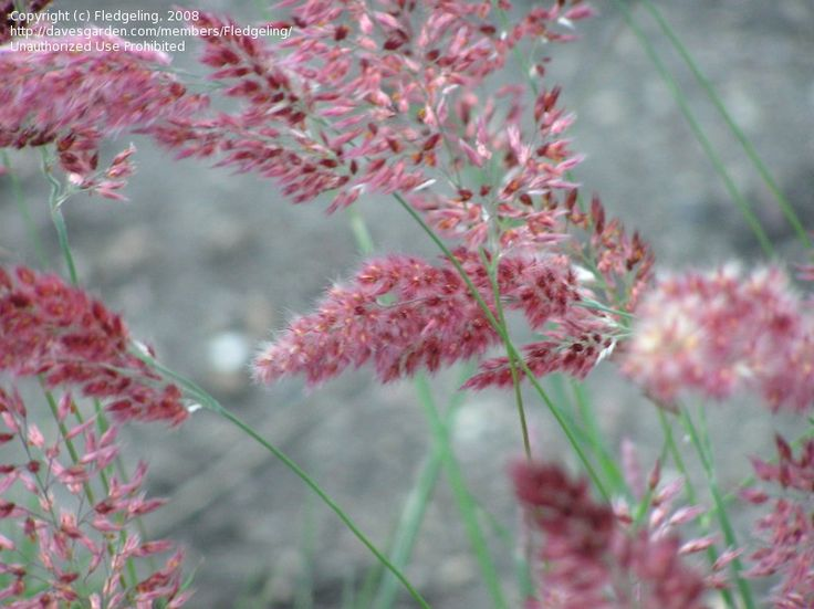 Ornamental Grasses Zone 7 201 best ornamental grasses images on pinterest garden grass grass bristle leaved redtop savannah melinis nerviglumis got it want to remember to collect seed pods really not supposed to be hardy in zone 7 workwithnaturefo