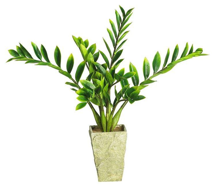 Pi di 25 fantastiche idee su piante da appartamento su for Zamioculcas cura