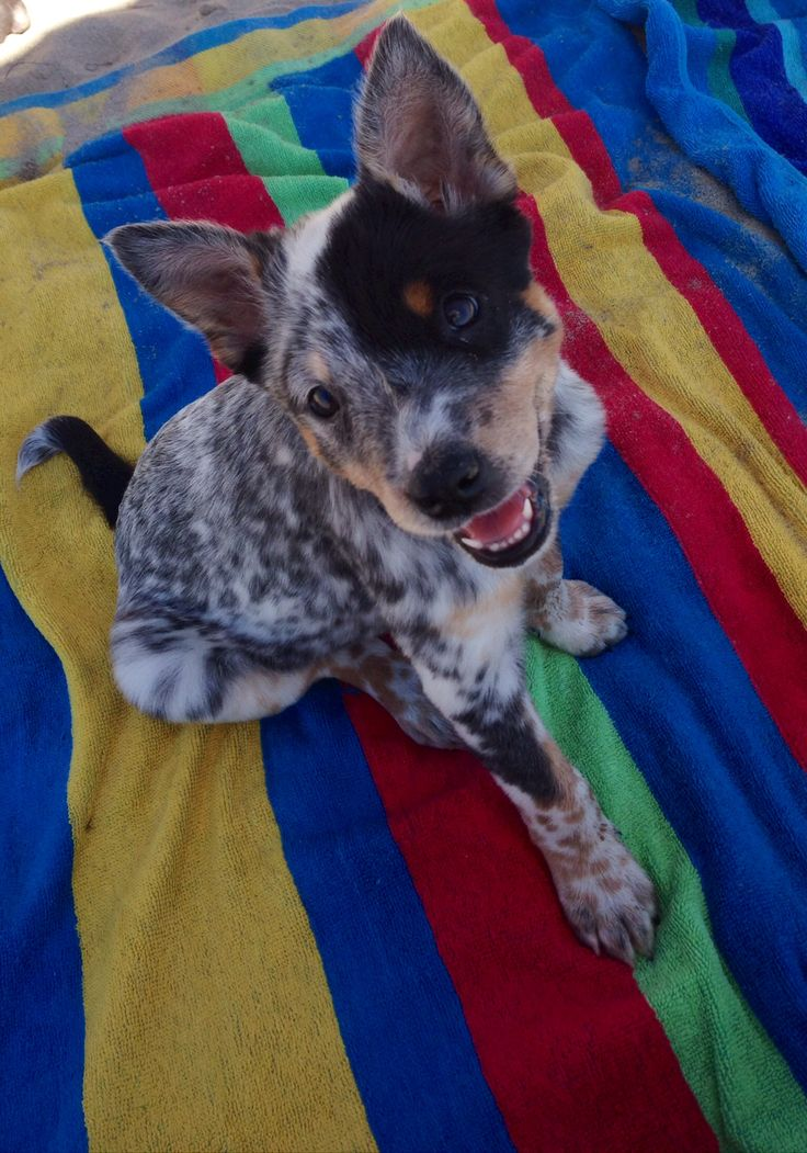 This is the most adorable picture, I have a Cattle Dog but never saw her as a puppy and seeing this makes me think of her!