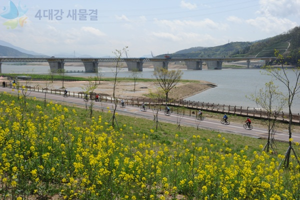 The beautiful rape blossoms  of Dalseong reservoir path at Nakdong river [ 낙동강 달성보 길가에 피어있는 아름다운 유채꽃]