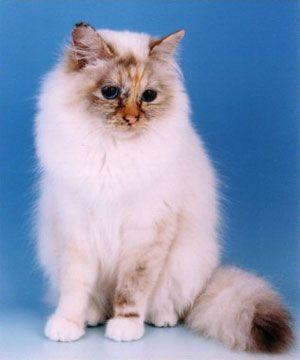 birman kittens grow into wonderful pets.