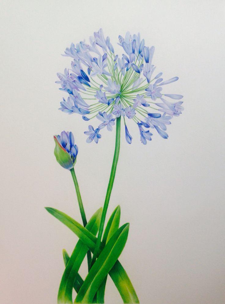 Agapanthus Praecox, pencil and gouache Botanical Illustration http://www.sarahjanehumphrey.com
