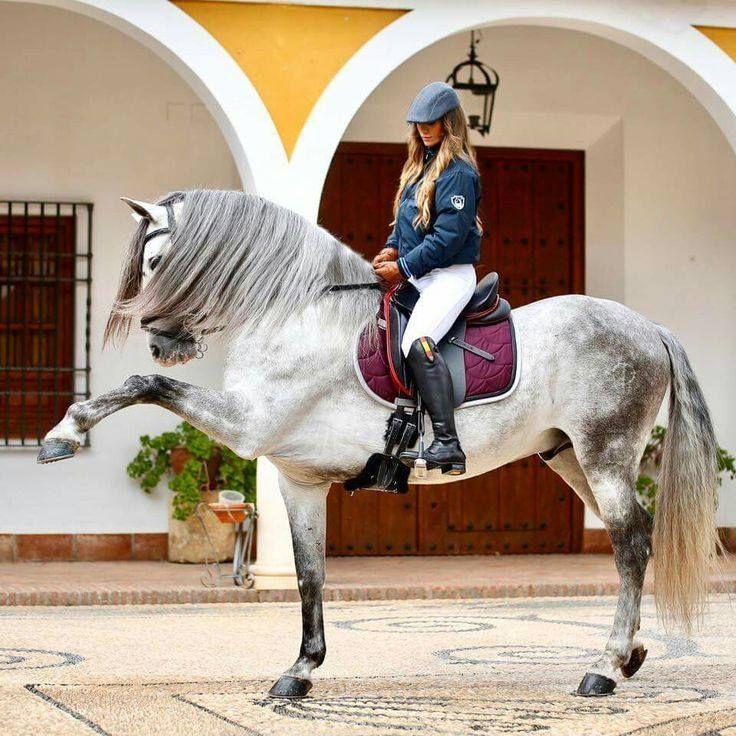 (96) Andalusian Spanish HORSE SALES Sunhorse - Photos