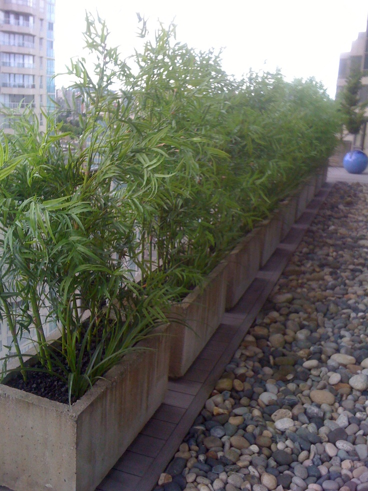Green Bamboo and Fountain Grass in Concrete Planters