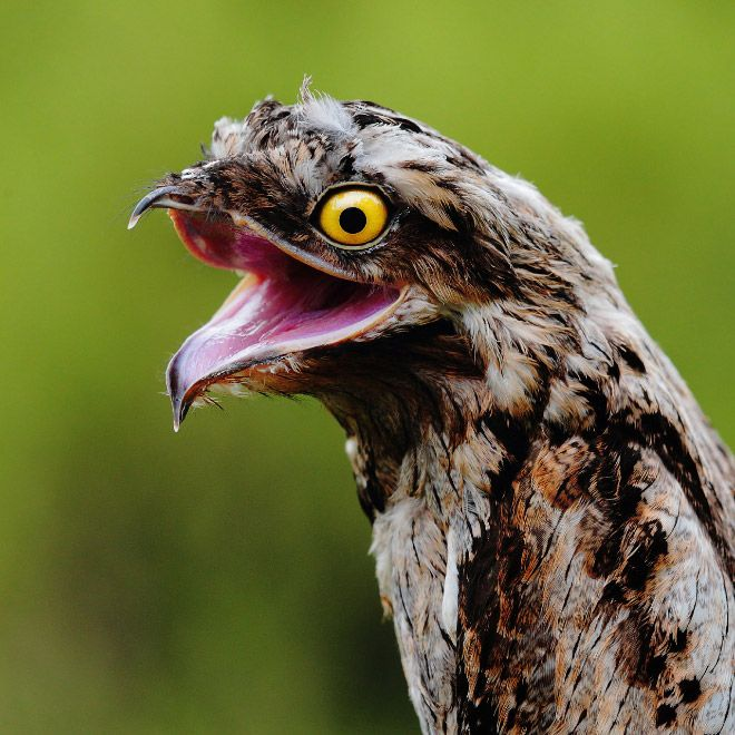 Meet Potoo: The Funniest Looking Bird Ever
