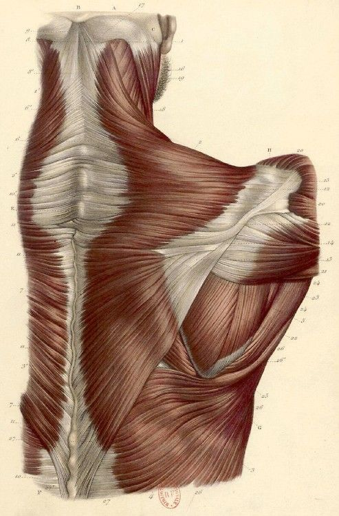1034 Best Anatomy Images On Pinterest Human Anatomy Planks And