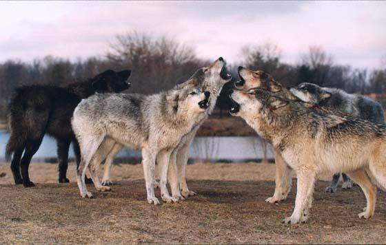 Timber wolves howling | Animals | Pinterest