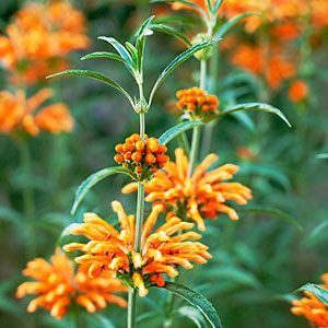 Water-wise garden design guide | Idea to steal: Lion's tail (Leonotis leonurus, pictured) adds bursts of velvety orange flowers to the border; it's deer-resistant and drought-tolerant.  | Sunset.com