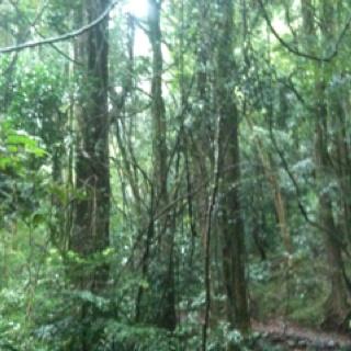Bunya Mountains rainforest trail