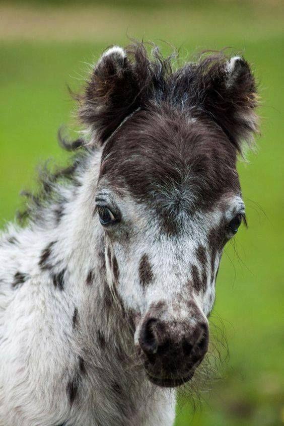 Miniature Horse foal, leopard Appaloosa  This FACE