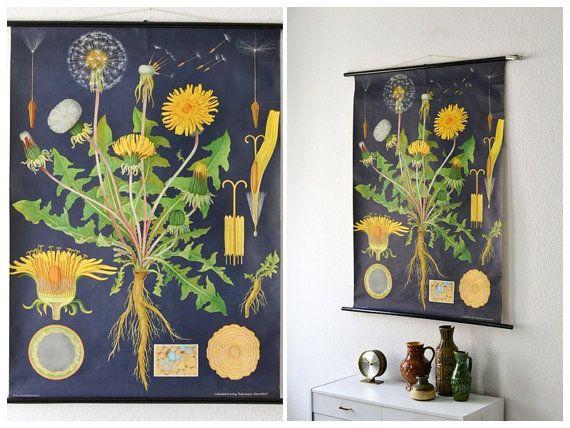 Vintage botanical pull down chart school chart map Jung Koch Quentell dandelion flower West German biology print